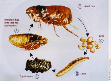 Life Cycle of the flea